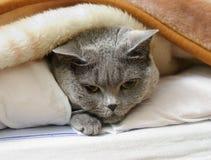 British shorthair cat. Lying under blanket Royalty Free Stock Photography
