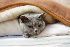 British shorthair cat. Lying under blanket Royalty Free Stock Photo