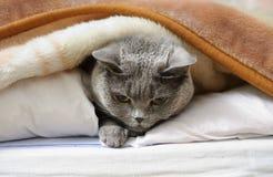 British shorthair cat. Lying under blanket Stock Photos