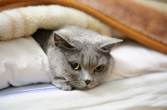 British shorthair cat. Lying under blanket Stock Photography