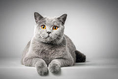British Shorthair cat lying on white table Royalty Free Stock Image
