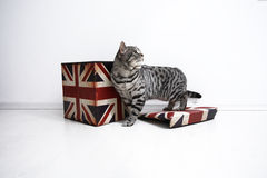 British Shorthair cat. British Shorthair male cat playing in a Union Jack box Stock Photos