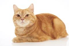 British shorthair cat Royalty Free Stock Photography