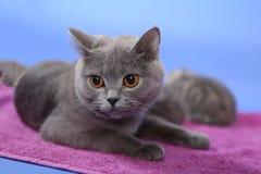British Shorthair cat orange eyes Royalty Free Stock Photo