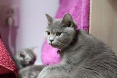British Shorthair cat orange eyes Stock Photos
