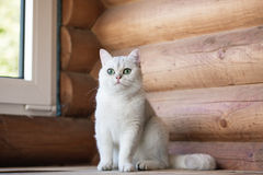 British shorthair cat outdoors Stock Photography
