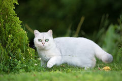 British shorthair cat outdoors Stock Photo