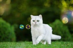 British shorthair cat outdoors Royalty Free Stock Image