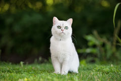 British shorthair cat outdoors Stock Images