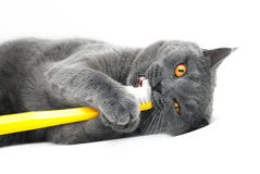 British shorthair cat playing with toothbrush stock photos