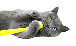 Free British Shorthair Cat Playing With Toothbrush Royalty Free Stock Photo - 28773375