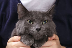 British shorthair cat pleads Stock Photos