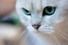 British shorthair cat portrait Royalty Free Stock Photos