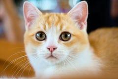 British shorthair cat portrait Stock Photos