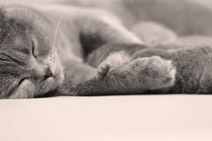 British Shorthair cat portrait isolated Stock Photography