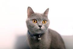 British Shorthair cat portrait, isolated Stock Photography