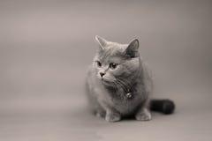 British Shorthair cat portrait,  Stock Photography