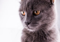 British Shorthair cat portrait on a white background Royalty Free Stock Image
