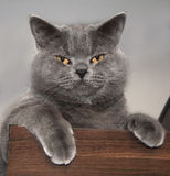 British Shorthair Cat Royalty Free Stock Images