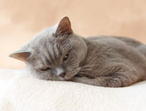 British shorthair cat resting royalty free stock images