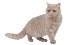 British shorthair cat sideways walking Royalty Free Stock Photos