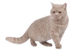 British shorthair cat sideways walking royalty free stock photos