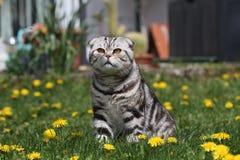 British Shorthair Cat Stock Photos