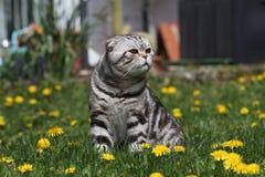 British Shorthair Cat Stock Photo