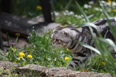 British Shorthair Cat. Cat sits on a green lawn Royalty Free Stock Photo