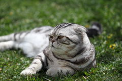British Shorthair Cat. Cat sits on a green lawn Stock Photo