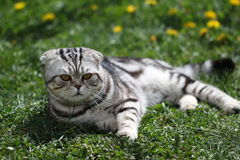 British Shorthair Cat. Cat sits on a green lawn Royalty Free Stock Photography