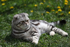 British Shorthair Cat. Cat sits on a green lawn Royalty Free Stock Photos