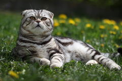 British Shorthair Cat. Cat sits on a green lawn Royalty Free Stock Images