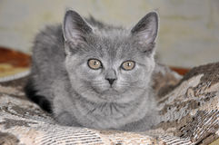 British Shorthair cat is sitting on the bad and looking forward Stock Photo