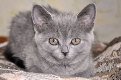 British Shorthair cat is sitting on the bad and looking forward.  Royalty Free Stock Photo