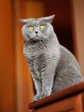 British shorthair cat Royalty Free Stock Photo