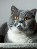 British Shorthair Cat sitting Stock Photo