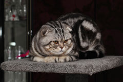 British Shorthair Cat. Cat sitting and watching others Stock Photos
