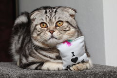 British Shorthair Cat. Cat sitting and watching others Royalty Free Stock Photo