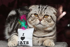British Shorthair Cat. Cat sitting and watching others Stock Image