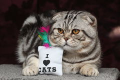 British Shorthair Cat. Cat sitting and watching others Royalty Free Stock Image