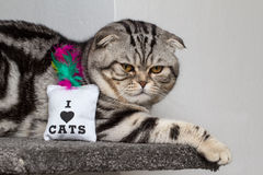 British Shorthair Cat. Cat sitting and watching others Stock Images
