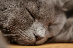 British shorthair cat sleep on wood table Stock Images
