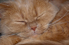 The British Shorthair cat sleeps on the sofa. Royalty Free Stock Photography