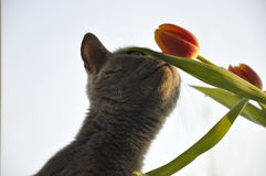 British Shorthair cat is smelling red tulip. Silhouette Stock Photos