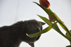 British Shorthair cat is smelling red tulip. Silhouette Royalty Free Stock Image