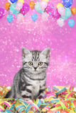 British shorthair cat with streamers Stock Photo