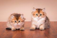British shorthair cat Stock Photography