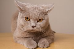 British shorthair cat unhappy closeup, looking directly at the camera its ears in different directions. Angry cat is located closely to the lens front paws stock photos