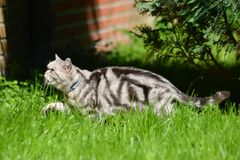 British shorthair. Cat walking in the grass Royalty Free Stock Images